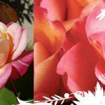 Las Rosas de Percival